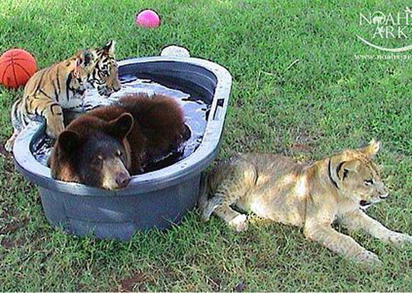 Baloo the bear, Leo the lion, Shere Kahn the tiger