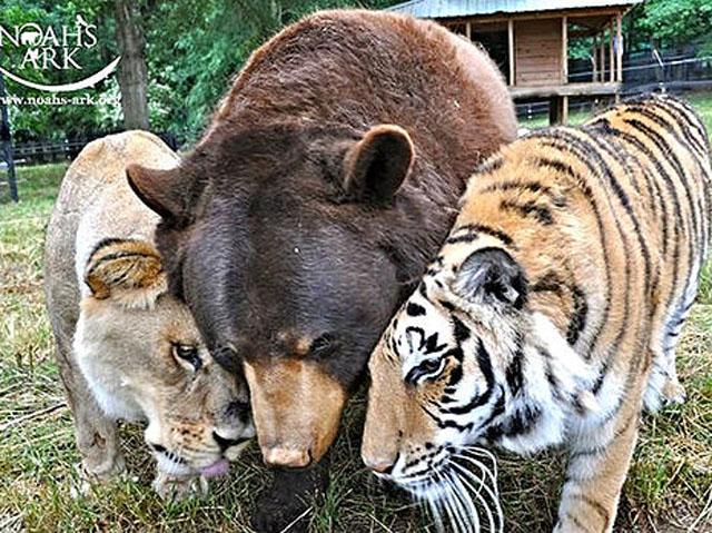 Baloo the bear, Leo the lion, Shere Kahn the tiger